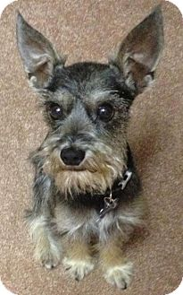 sparky adopted dog poway ca cairn terrier schnauzer