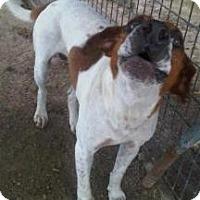 Adopt A Pet :: Hero - Quinlan, TX