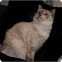 Ragdoll Cat for adoption in Chattanooga, Tennessee - Annie
