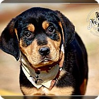 Adopt A Pet :: Ruger - Albany, NY