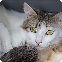 Adopt A Pet :: Sugar Angel - Poway, CA