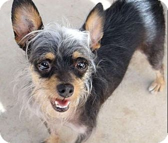 chinese crested terrier corona ca yorkie yorkshire terrier chinese crested mix 9681