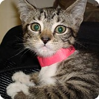Domestic Shorthair Cat for adoption in Miami, Florida - Tania