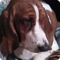 Adopt A Pet :: Lily - Northport, AL