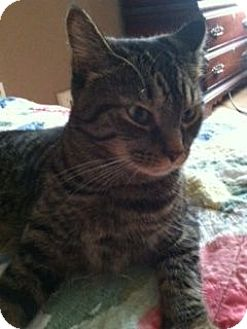 Domestic Shorthair Cat for adoption in Cleveland, Ohio - Casey