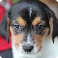 Adopt A Pet :: Cassie's Pup- Heath - Romeoville, IL