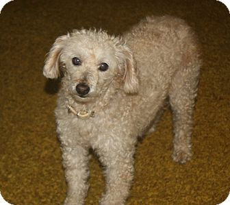 Poodle (Miniature) Mix Dog for adoption in Homer, New York - Lachey