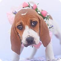 Adopt A Pet :: Olivia Rose - Loomis, CA