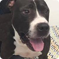 Adopt A Pet :: Noah - Columbia, MD
