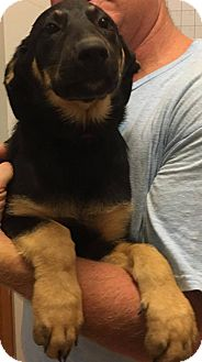 German Shepherd Dog/Labrador Retriever Mix Puppy for adoption in Pearland, Texas - Margarita