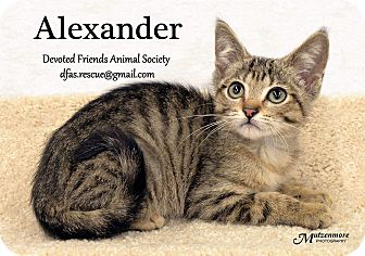 Domestic Shorthair Kitten for adoption in Ortonville, Michigan - Alexander