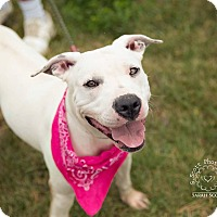 American Pit Bull Terrier Mix Dog for adoption in Zanesville, Ohio - Allie - ADOPTED!