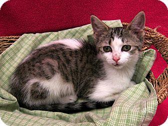 Domestic Shorthair Kitten for adoption in Redwood Falls, Minnesota - Merryweather