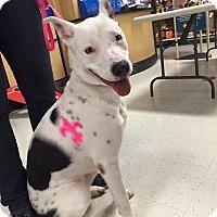 Adopt A Pet :: Halo - Luling, LA