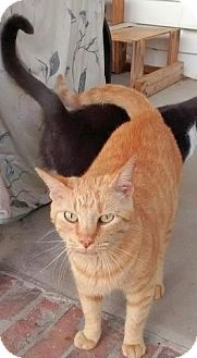 Domestic Shorthair Cat for adoption in Charlotte, North Carolina - Chinese kitty