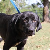 Labrador Retriever Mix Dog for adoption in Conway, Arkansas - Lillian