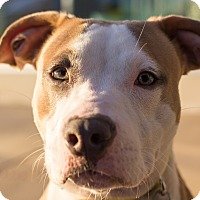 Adopt A Pet :: Harlequin - Grand Rapids, MI