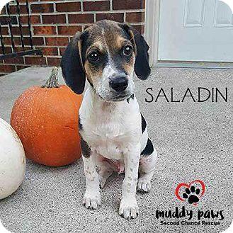 Beagle Mix Puppy for adoption in Council Bluffs, Iowa - Saladin (Sal)