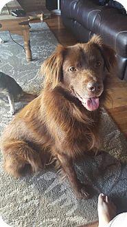 Australian Shepherd Dog for adoption in Great Bend, Kansas - Hank