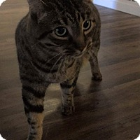 Domestic Shorthair Cat for adoption in Long Beach, California - Sebastian