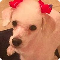 Adopt A Pet :: Lulu - Snyder, TX