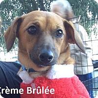Adopt A Pet :: Crème Brûlée - Lake Forest, CA