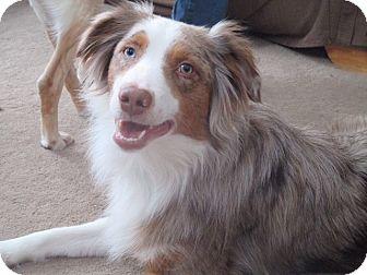 Australian Shepherd Dog for adoption in Minneapolis, Minnesota - Hazard