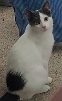 Domestic Shorthair Cat for adoption in Pasadena, California - Sweety-Petey