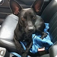 Adopt A Pet :: Zorro - North Richland Hills, TX