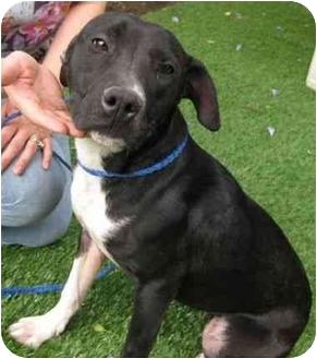 Labrador Retriever Mix Dog for adoption in Los Alamitos, California - Shellie