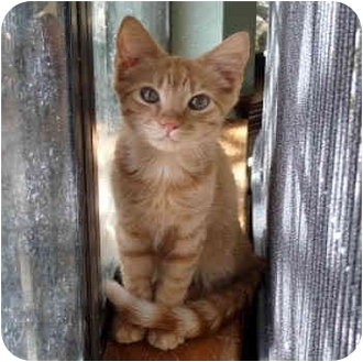 Domestic Shorthair Cat for adoption in Round Rock, Texas - Applejack
