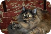 Domestic Longhair Cat for adoption in Ocean City, New Jersey - Molly
