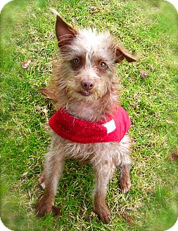 Terrier (Unknown Type, Small) Mix Dog for adoption in El Cajon, California - Sugar