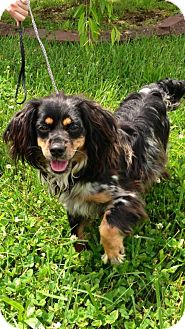 Cockapoo/Dachshund Mix Dog for adoption in Bluff city, Tennessee - GRACIE--LOVING!LAP DOG!