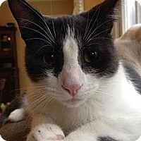 Domestic Shorthair Cat for adoption in Raleigh, North Carolina - Grey