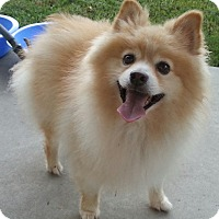 Adopt A Pet :: Fluffy - Orlando, FL