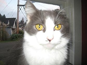 Domestic Mediumhair Cat for adoption in Coos Bay, Oregon - Roo