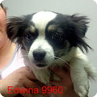 Adopt A Pet :: Edwina - baltimore, MD