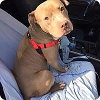 Adopt A Pet :: Gus - Villa Park, IL