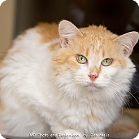 Adopt A Pet :: Juju - Fountain Hills, AZ