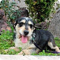 Adopt A Pet :: Lollipop - Los Angeles, CA