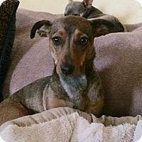 Adopt A Pet :: Okie - Edmond, OK
