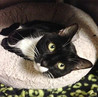 Domestic Shorthair Cat for adoption in New York, New York - Annette (Manhattan)