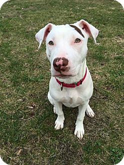 American Pit Bull Terrier Mix Dog for adoption in Plainville, Connecticut - Denali