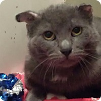 Domestic Shorthair Cat for adoption in Colfax, Iowa - Duncan