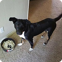 Catahoula Leopard Dog/Blue Heeler Mix Dog for adoption in Austin, Texas - Beast