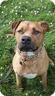 American Staffordshire Terrier Mix Dog for adoption in Vancouver, Washington - Bam