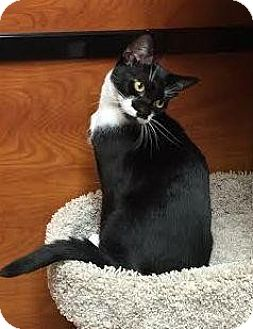 Domestic Shorthair Kitten for adoption in Flushing, New York - Ronnie