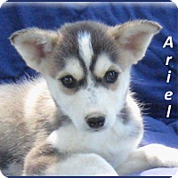 Adopt A Pet :: Ariel - Marlborough, MA