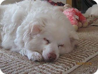 American Eskimo Dog Dog for adoption in Lindsey, Ohio - Klondike of Ohio
